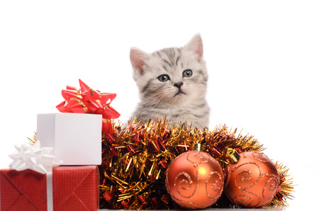trumpery: sitting gray kitten with christmas gifts and coppery and golden decorations on white background