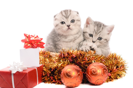 cuddled: two gray kittens sibs with christmas gifts and coppery and golden decorations isolated on white background