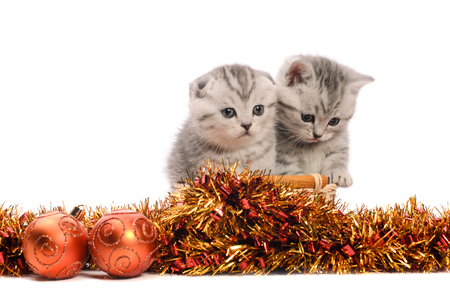 trumpery: two gray kitties sibs with coppery and golden christmas tinsel and balls isolated on white background