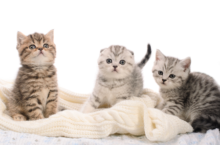 cuddled: three gray stripy kittens sibs on knitted fabric on white background