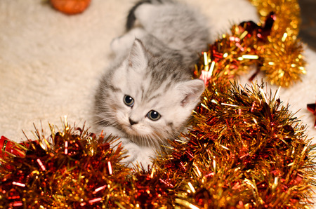 trumpery: gray kitty and bright coppery and golden christmas tinsel indoors Stock Photo