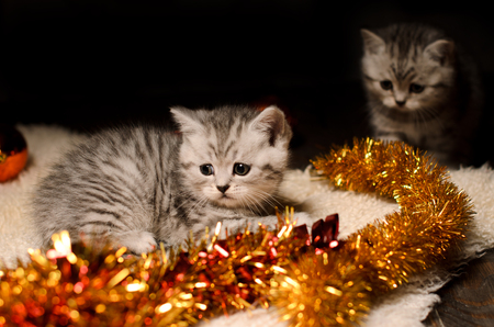 trumpery: two funny gray kittens sibs with bright golden christmas tinsel indoors
