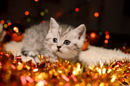 trumpery: gray kitten with shining coppery and golden christmas tinsel and bokeh indoors