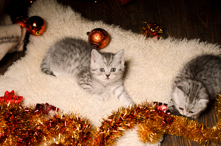 frippery: two stripy gray kittens sibs with bright coppery and golden christmas decorations indoors Stock Photo