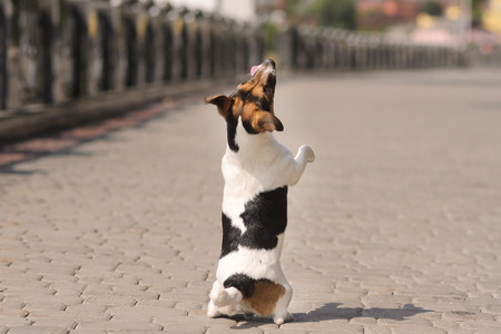 movable: movable puppy, white with brown and black spots, walking on the stone pavement