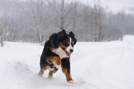 Berner Sennenhund big dog on walk in winter landscape, with snow