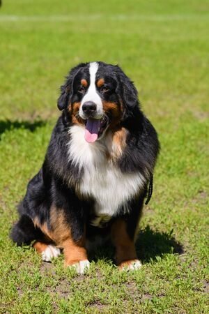 Portrait of a large well-kept dog Berner Sennenhund sitting on the side of a lawn in green spring grass, in a park