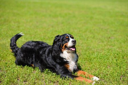 Portrait of large luxurious manicured dog Berner Sennenhund lying on background of green spring grass on sunny day Stock Photo