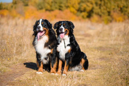 beautiful dogs of breed Berner Sennenhund, boy and girl, sit next to background of autumn yellowing forest