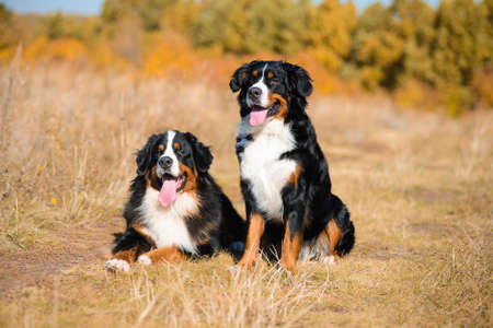 beautiful dogs of breed Berner Sennenhund, boy and girl, lie next to background of autumn yellowing forest 版權商用圖片