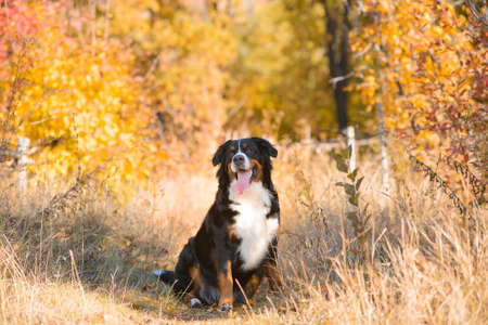 beautiful clean well-groomed dog, breed Berner Sennenhund, sitting in dry grass against the background of an autumn yellowing forest