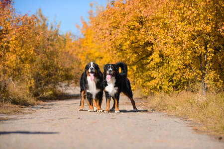 two large beautiful well-groomed dogs are walking along the road, breed Berner Sennenhund, against background of an autumn yellowing forest 版權商用圖片
