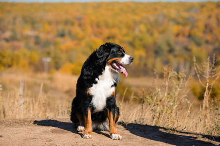 large beautiful well-groomed dog sitting on the road, breed Berner Sennenhund, against the background of an autumn yellowing forest