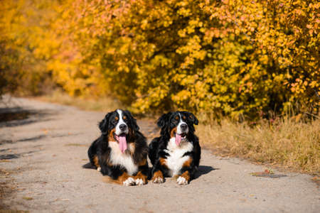 two large beautiful well-groomed dogs sit on road, breed Berner Sennenhund, against background of an autumn yellowing forest