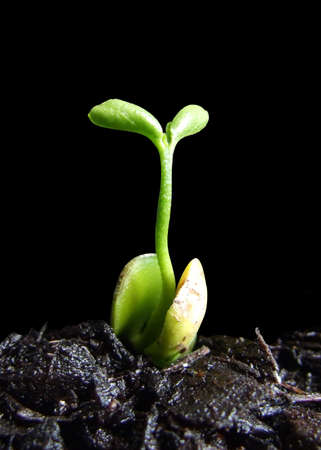 Mandarin sprout emerging from seed photo