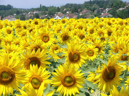 Sunflowers field  with a village in the background