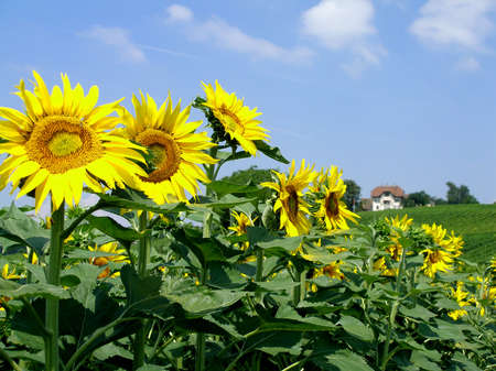Sunflowers field with a background hill Stock Photo