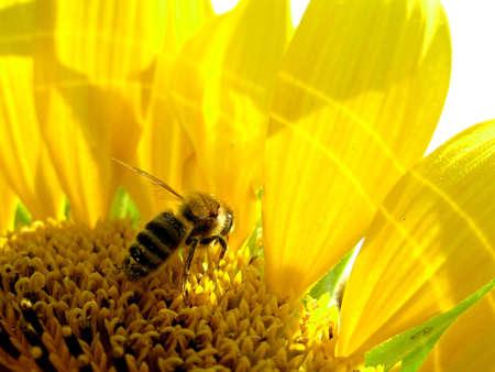 Honey bee collecting sunflower's pollen Stock Photo
