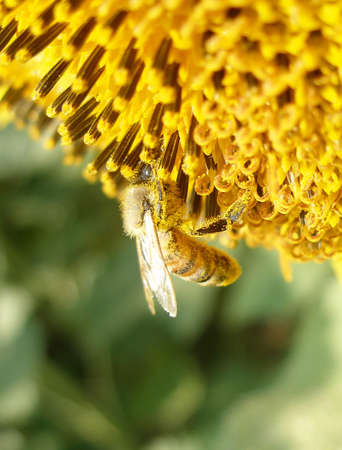 Honey bee loaded with pollen while collecting Stock Photo
