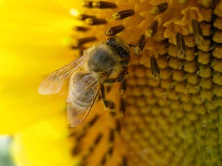 Honey bees collecting pollen close up on a sunflower