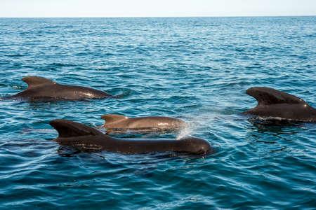 whale: Whale watching - Pilot whales blowing at Pleasant Bay, Cape Breton, Nova Scotia, Canada