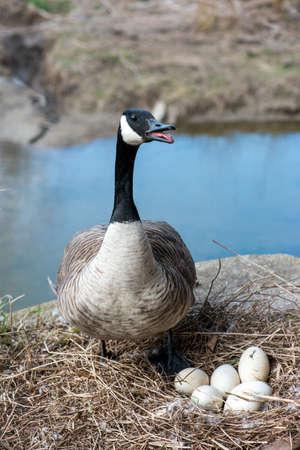 monogamous: Wild Canada goose incubating eggs near stream in breeding season.