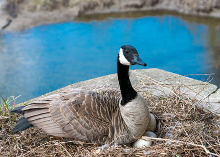 incubation: Wild Canada goose incubating eggs near stream in breeding season.
