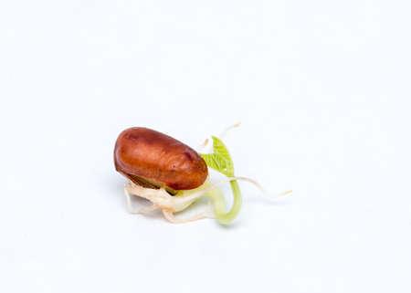 adzuki bean: Macro closeup of adzuki bean sprouts, isolated on white background.