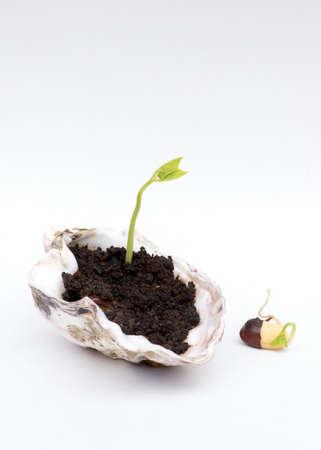 adzuki bean: Macro closeup of adzuki bean seedling, coming out of black soil, in seashell container. isolated on white background. Stock Photo