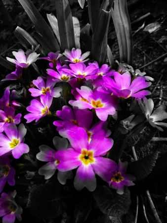 mistic: Primula Stock Photo