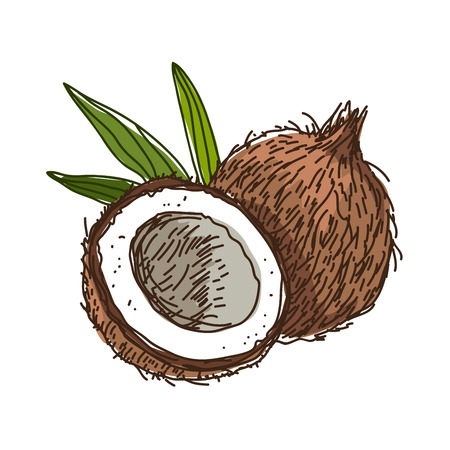 Coconut. illustration on a white background, painted by hand.
