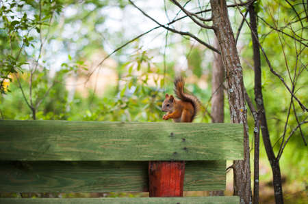 red squirrel: red squirrel sitting on a wooden fence Stock Photo