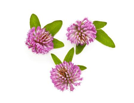 clover flower on a white background, three clover flower field photo