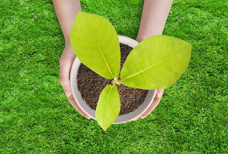 Pot magnolia in female hands. The young magnolia tree in a pot on a grass background 스톡 콘텐츠