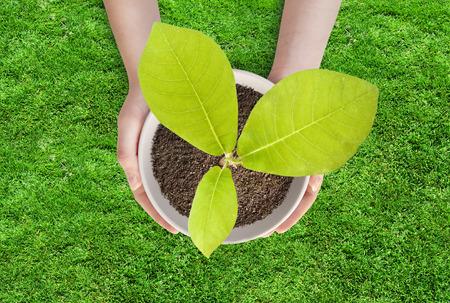 Pot magnolia in vrouwelijke handen. De jonge magnolia boom in een pot op een achtergrond van gras