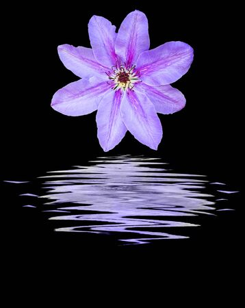 clematis flower: Clematis flower on water