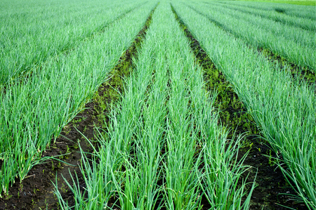 Rows of Onions on the field. Agricultural landscape. Onions plantations. Cultivated field green onion rows.
