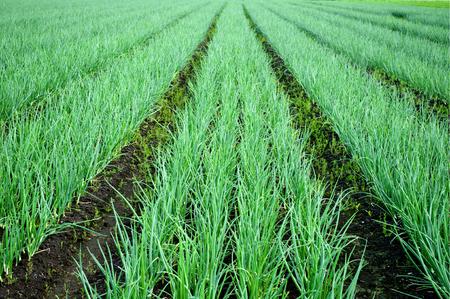 Rijen van uien op het veld. Agrarisch landschap. Uien plantages. Gebied gecultiveerd groene ui rijen. Stockfoto