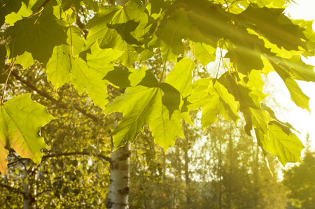 uplifting: Green forest in bright sunlight. The rays of the sun on green leaves of maple