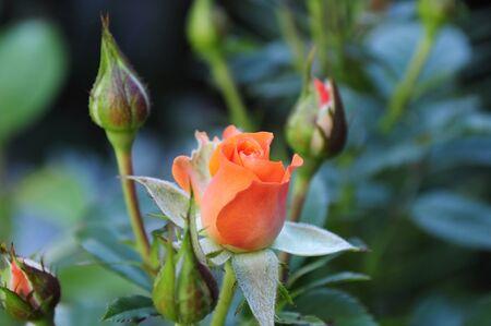Colorato rosa nel giardino estivo. Germoglio di rose rosa in un giardino verde.