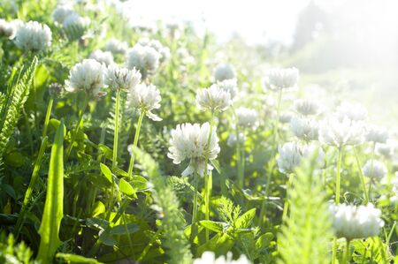 trifolium: White clover flowers in spring - photo with shallow depth of field. The white clover on a meadow. Flower of white clover