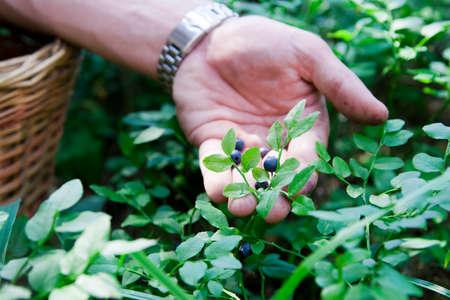 Men gather blueberries