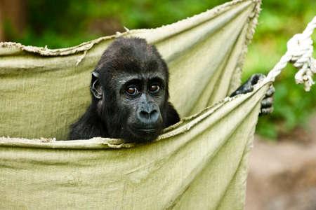 anthropomorphism: Gorilla baby in the bag