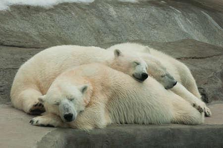 cubs: Polar she-bear sleeping with cubs