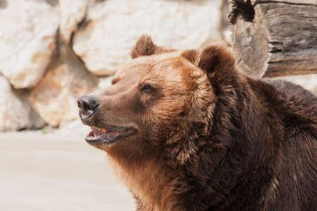 kodiak: Grizzly bear looking away