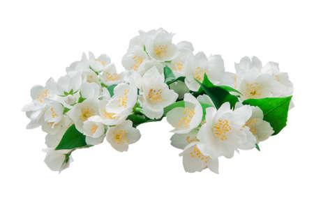 Many jasmine flowers isolated Stock Photo