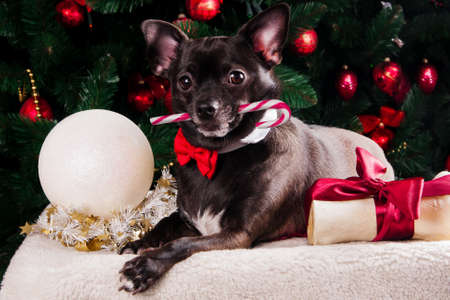 Black dog with Christmas bone gift with Christmas tree