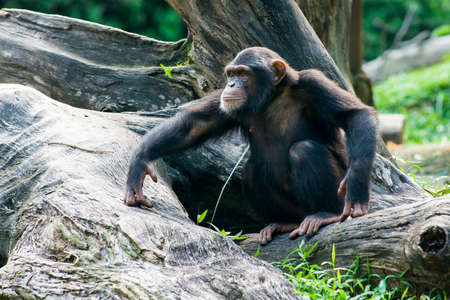 Chimpanzee sits on a branch in the jungle Stockfoto