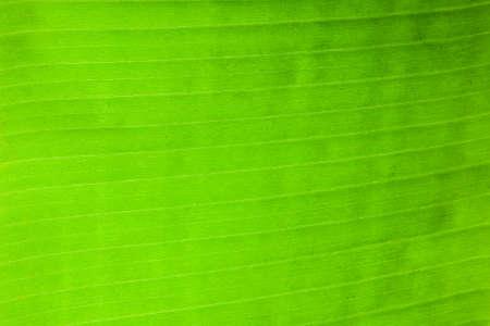 Green banana leaf closeup in full background