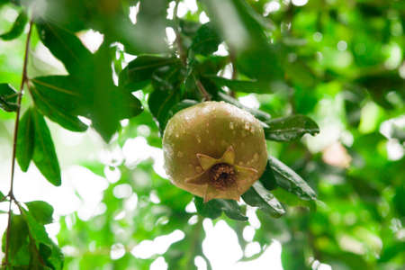 Unripe pomegranate hanging on a tree after rain 写真素材